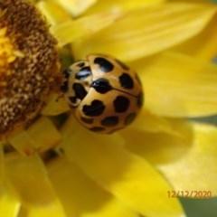 Harmonia conformis (Common Spotted Ladybird) at Majura, ACT - 12 Dec 2020 by Ghostbat