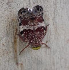 Platybrachys decemmacula (Green-faced gum hopper) at Majura, ACT - 12 Dec 2020 by Ghostbat