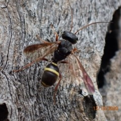 Trigonalidae (family) (Trigonalid wasp) at Majura, ACT - 12 Dec 2020 by Ghostbat
