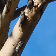Psaltoda moerens (Redeye Cicada) at National Arboretum Woodland - 9 Dec 2020 by galah681