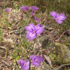 Thysanotus tuberosus subsp. tuberosus (Common Fringe-lily) at The Pinnacle - 12 Dec 2020 by pinnaCLE