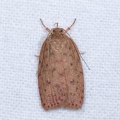 Garrha repandula (A Concealer moth) at Melba, ACT - 16 Nov 2020 by kasiaaus