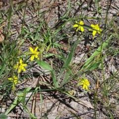 Tricoryne elatior (Yellow Rush Lily) at National Arboretum Forests - 19 Nov 2020 by galah681