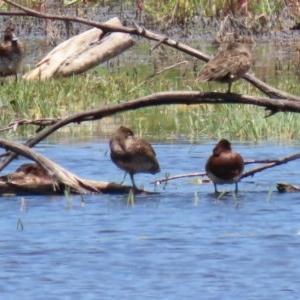 Stictonetta naevosa at Jerrabomberra Wetlands - 11 Dec 2020