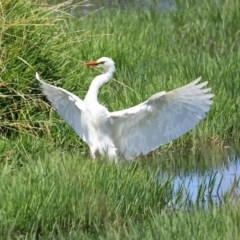 Ardea intermedia (Intermediate Egret) at Jerrabomberra Wetlands - 11 Dec 2020 by RodDeb