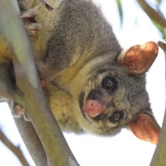 Trichosurus vulpecula (Common Brushtail Possum) at Jerrabomberra Wetlands - 11 Dec 2020 by RodDeb