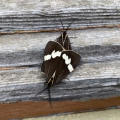 Nyctemera amicus (Senecio or Magpie moth) at Wandiyali-Environa Conservation Area - 2 Dec 2020 by Wandiyali