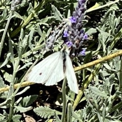 Pieris rapae (Cabbage White) at Wandiyali-Environa Conservation Area - 5 Dec 2020 by Wandiyali