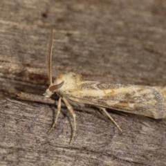 Eremochroa alphitias (Pale X-o Moth) at Melba, ACT - 16 Nov 2020 by kasiaaus