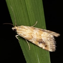 Hellula hydralis (Cabbage Centre Moth) at Melba, ACT - 16 Nov 2020 by kasiaaus