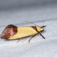 Crepidosceles exanthema (A Concealer moth) at Melba, ACT - 16 Nov 2020 by kasiaaus