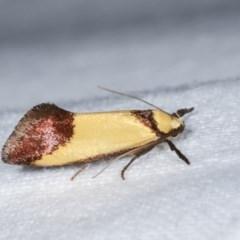 Crepidosceles exanthema (A Concealer moth) at Melba, ACT - 16 Nov 2020 by kasiaaus