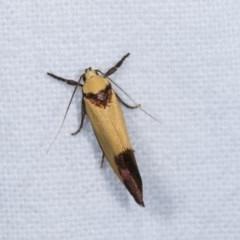 Crepidosceles exanthema at Melba, ACT - 16 Nov 2020