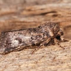 Thoracolopha verecunda (A Noctuid moth (group)) at Melba, ACT - 16 Nov 2020 by kasiaaus
