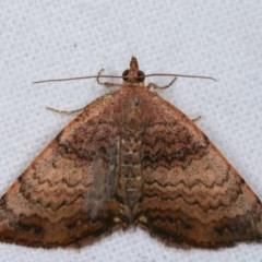 Chrysolarentia mecynata (Mecynata Carpet Moth) at Melba, ACT - 16 Nov 2020 by kasiaaus