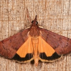 Uresiphita ornithopteralis (Tree Lucerne Moth) at Melba, ACT - 16 Nov 2020 by kasiaaus