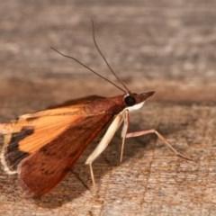 Uresiphita ornithopteralis at Melba, ACT - 16 Nov 2020