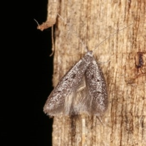 Pseudotheta syrtica at Melba, ACT - 16 Nov 2020