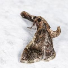 Scenedra decoratalis (A Pyralid moth) at Melba, ACT - 16 Nov 2020 by kasiaaus