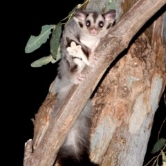 Petaurus norfolcensis (Squirrel Glider) at Wonga Wetlands - 11 Dec 2020 by WingsToWander