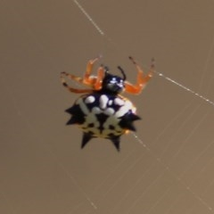 Austracantha minax (Christmas Spider, Jewel Spider) at Wodonga - 12 Dec 2020 by Kyliegw