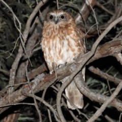 Ninox boobook (Southern Boobook) at Wonga Wetlands - 11 Dec 2020 by WingsToWander