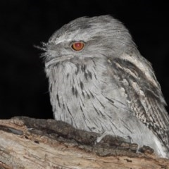 Podargus strigoides (Tawny Frogmouth) at Wonga Wetlands - 11 Dec 2020 by WingsToWander