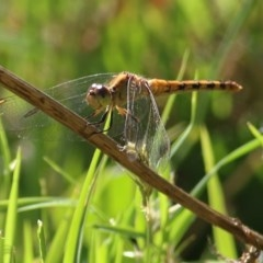 Diplacodes melanopsis (Black-faced Percher) at Wodonga - 12 Dec 2020 by Kyliegw