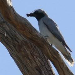 Coracina novaehollandiae (Black-faced Cuckooshrike) at Wodonga - 12 Dec 2020 by Kyliegw