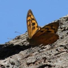Heteronympha merope (Common Brown) at Wodonga - 12 Dec 2020 by Kyliegw