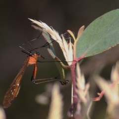 Harpobittacus australis (Hangingfly) at Wodonga - 12 Dec 2020 by Kyliegw