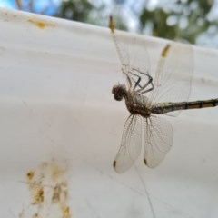Orthetrum caledonicum (Blue Skimmer) at Isaacs Ridge and Nearby - 12 Dec 2020 by Mike