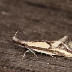 Thema macroscia (A concealer moth) at Melba, ACT - 16 Nov 2020 by kasiaaus