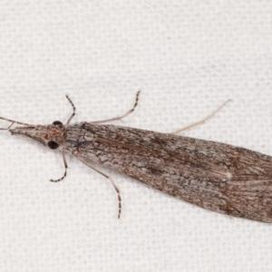 Leptoceridae sp. (family) at Melba, ACT - 16 Nov 2020