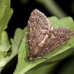 Microdes squamulata (Dark-grey Carpet) at Melba, ACT - 16 Nov 2020 by kasiaaus