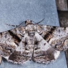 Gastrinodes argoplaca (Cryptic Bark Moth) at Melba, ACT - 16 Nov 2020 by kasiaaus