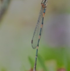 Austrolestes leda (Wandering Ringtail) at Googong, NSW - 12 Dec 2020 by WHall