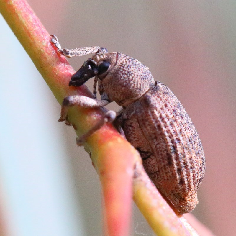 Rhinaria sp. (genus) at Dryandra St Woodland - 28 Nov 2020