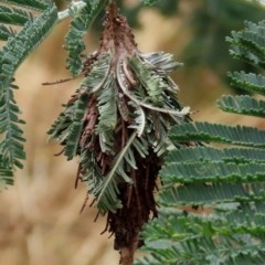Hyalarcta huebneri (Leafy Case Moth) at Theodore, ACT - 13 Dec 2020 by Owen