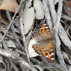 Junonia villida (Meadow Argus) at Black Mountain - 13 Dec 2020 by tpreston