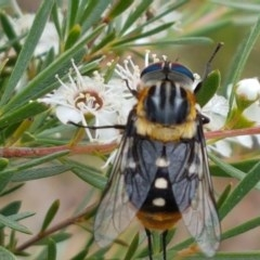 Scaptia (Scaptia) auriflua (A flower-feeding march fly) at Black Mountain - 13 Dec 2020 by tpreston