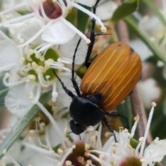 Phyllotocus rufipennis (Nectar scarab) at Black Mountain - 13 Dec 2020 by tpreston