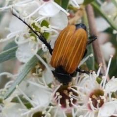 Phyllotocus rufipennis at Black Mountain - 13 Dec 2020
