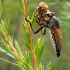 Neoscleropogon sp. (genus) (Robber fly) at Black Mountain - 13 Dec 2020 by tpreston