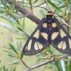 Amata (genus) (Handmaiden) at Black Mountain - 13 Dec 2020 by tpreston