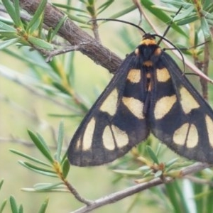 Amata (genus) at Black Mountain - 13 Dec 2020