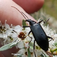 Tanychilus sp. (genus) (Comb-clawed beetle) at Black Mountain - 13 Dec 2020 by tpreston