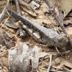 Pycnostictus seriatus (Common Bandwing) at Black Mountain - 13 Dec 2020 by tpreston