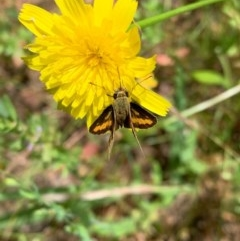 Ocybadistes walkeri (Greenish Grass-dart) at Murrumbateman, NSW - 13 Dec 2020 by SimoneC