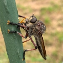 Neoaratus hercules (Robber fly) at Murrumbateman, NSW - 5 Dec 2020 by SimoneC